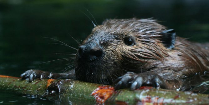 Beavers Battling Climate Change and Fish Who Love to Play