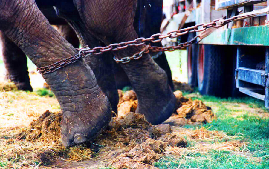 Elephants in Chains