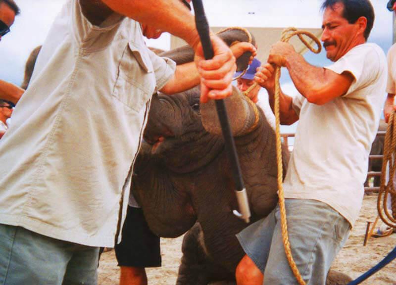 Ringling Baby Elephant Training