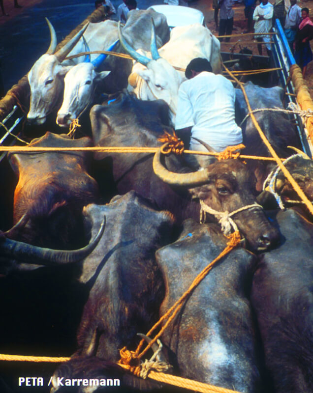 Indian Leather Cows on Truck