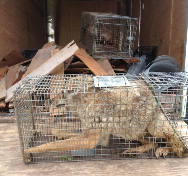 Coyote-Trapped-Animal_Planet-cropped
