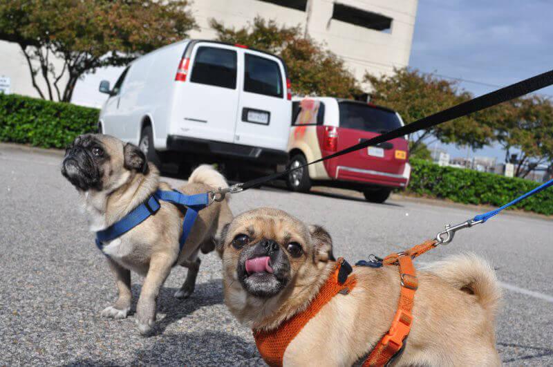 Two Pugs at Oktoberfest Spay/Neuter Event