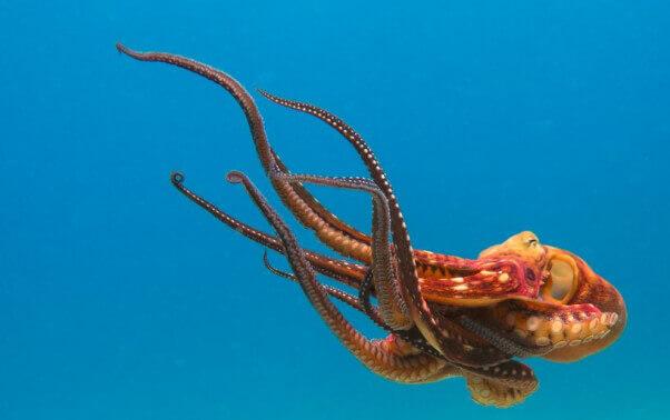 Octopus in open ocean