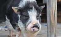 Pig_rescue