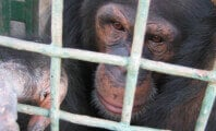 Chimpanzee Runs for His Life After Escaping Japanese Zoo