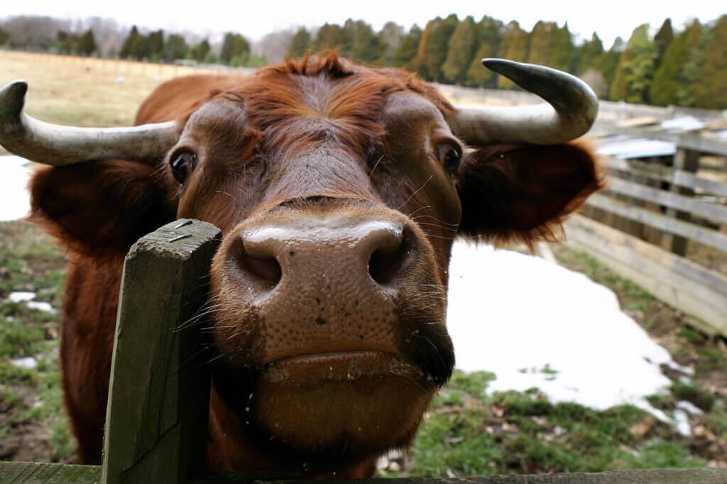 Gentle Bull