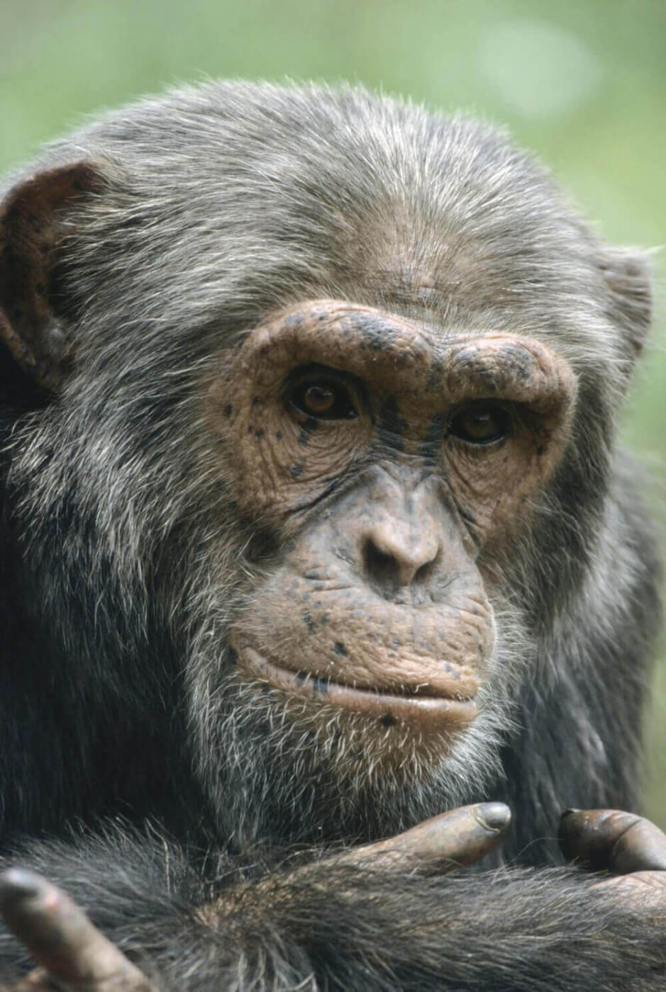 Older Chimpanzee
