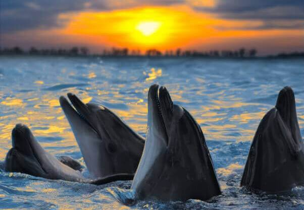 Happy Dolphins in Ocean at Sunset