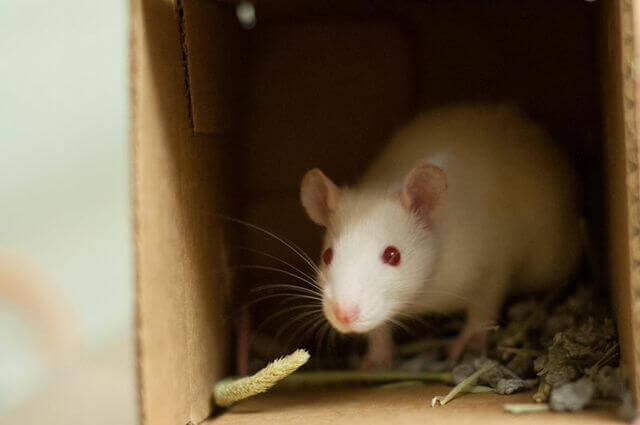Rat for Adoption