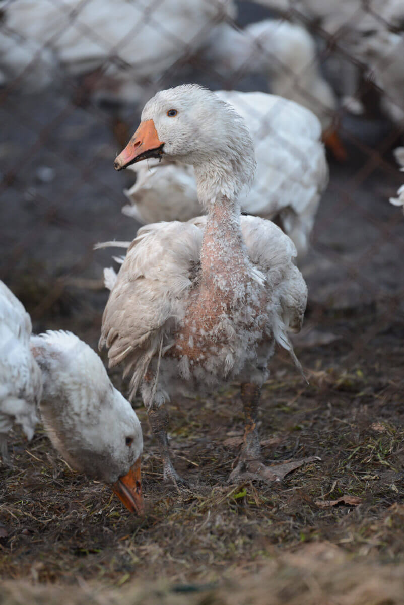 down production birds abused for their feathers peta