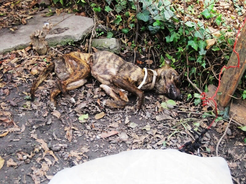 Dead Pit Bull Chained in Back Yard
