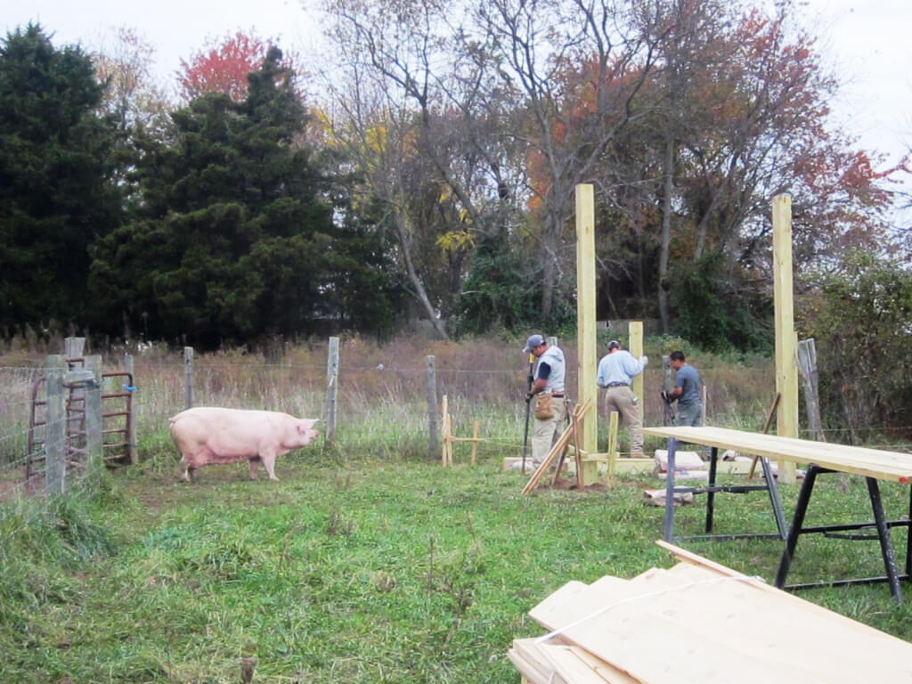 Rescued Pig Watches Shelter Being Built