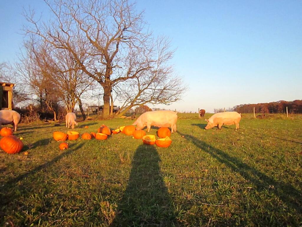 Rescued Pigs Eating Pumpkins