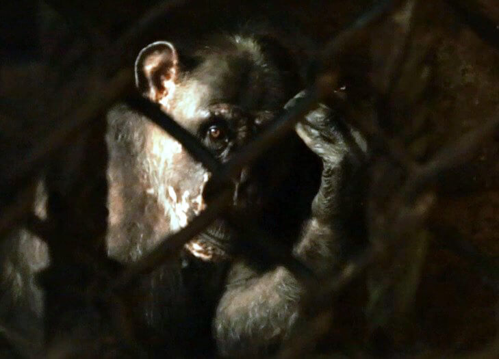 'Before' Photo of Chimpanzee Rescued by PETA Germany