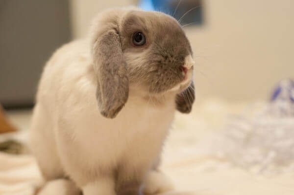 Pickles the Bunny Needs a New Home