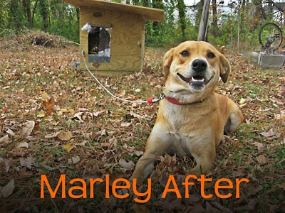 Chained Dog: Marley After