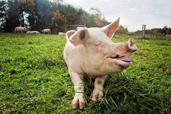 Happy Pig at Sanctuary