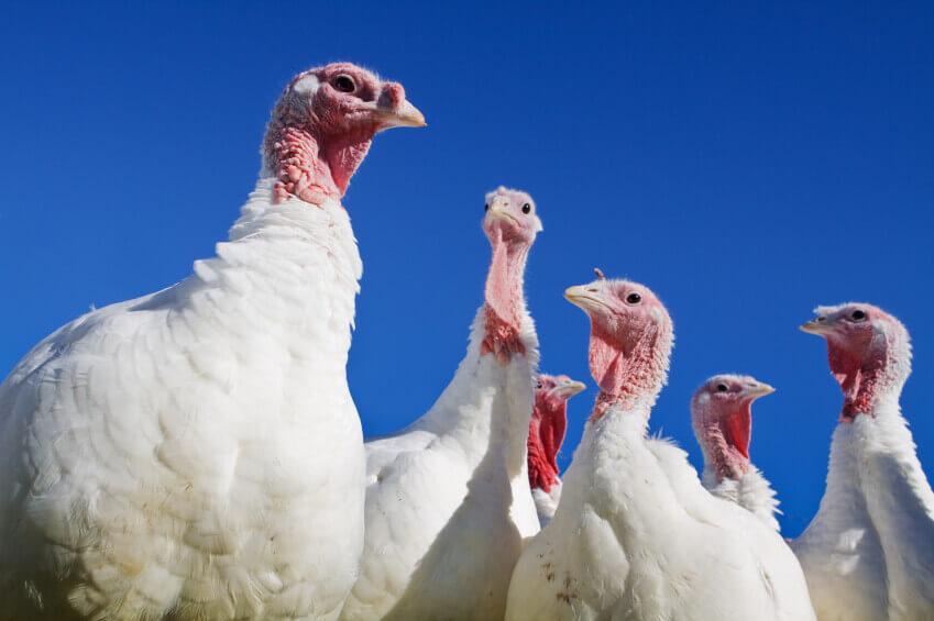 White Turkeys against Blue Sky