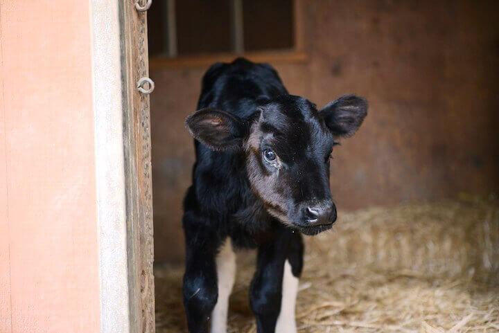 Holly the Calf at Farm Sanctuary