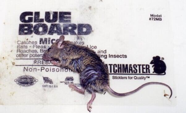 6 Steps To Save Animals Stuck On Glue Traps Peta
