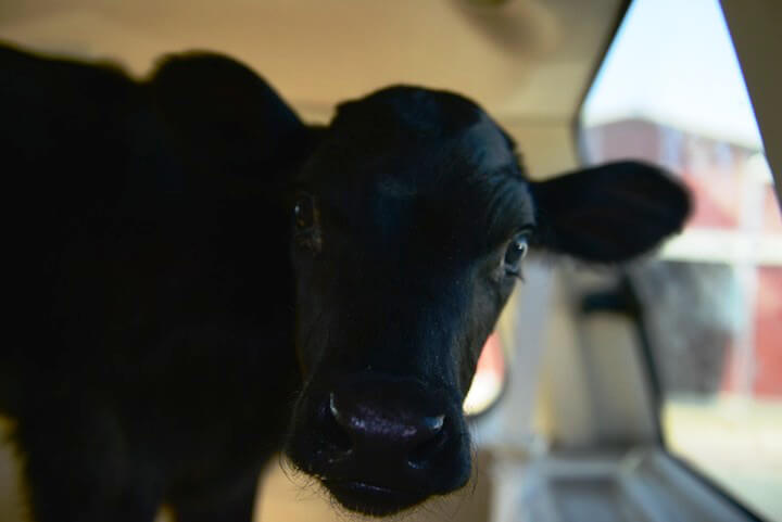 Holly the Rescued Calf in Car