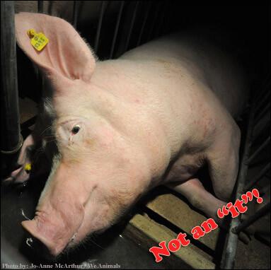 Pig Not an It