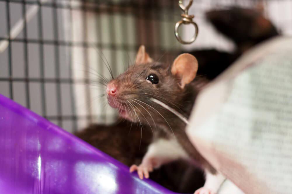 Maizzie, rat who needs new home