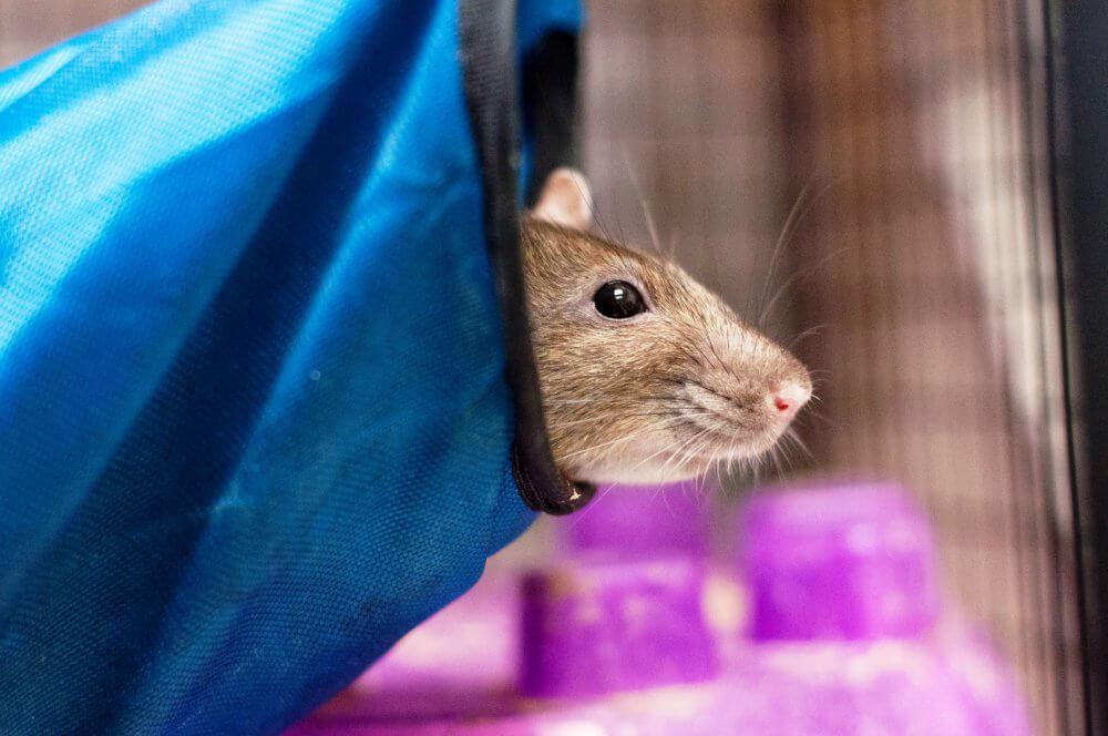 Rat Peeking Out of Hammock