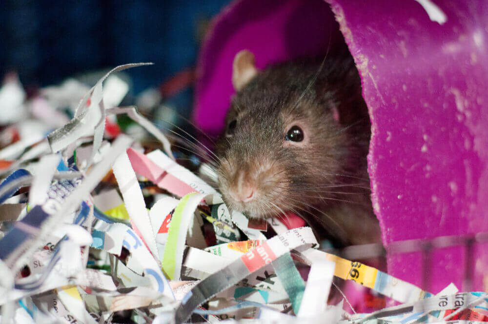 Teddy, a Rat Looking for a New Home