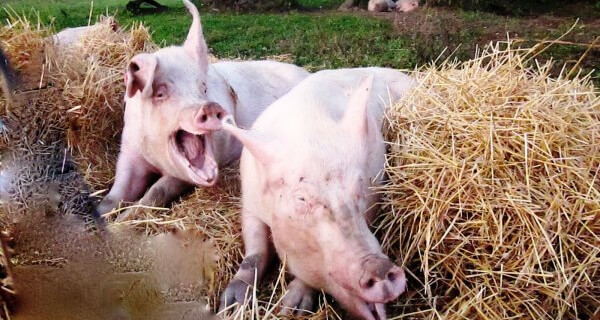 Rescued Pigs at Sanctuary