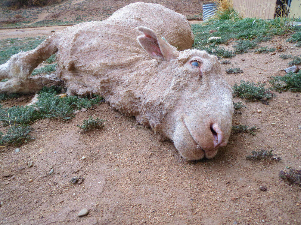 sheep abused for wool