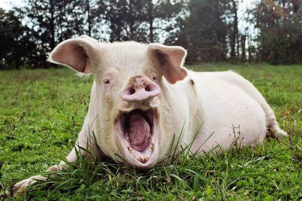 Yawning Pig at Sanctuary