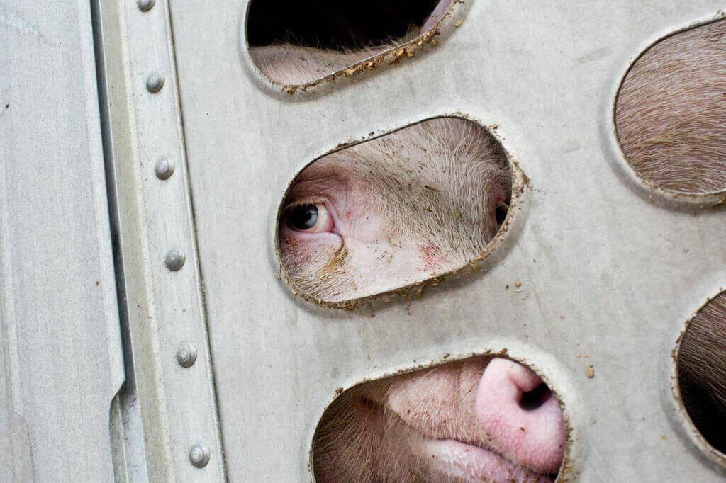 Sad Pig on Truck