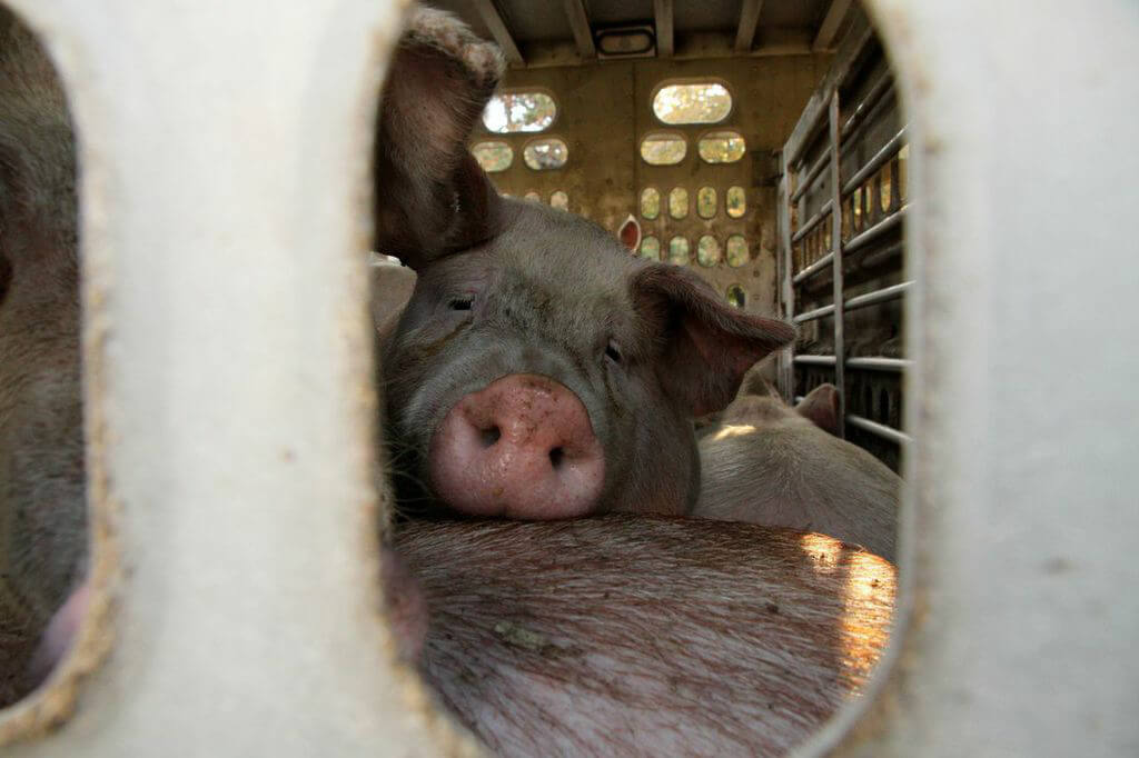 22 Heartbreaking Photos From Pigs' Journey to Slaughter | PETA