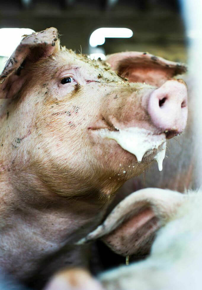 Sad Pig Foaming from mouth