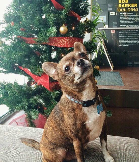 Baxter the Chihuahua Dog with Xmas Tree