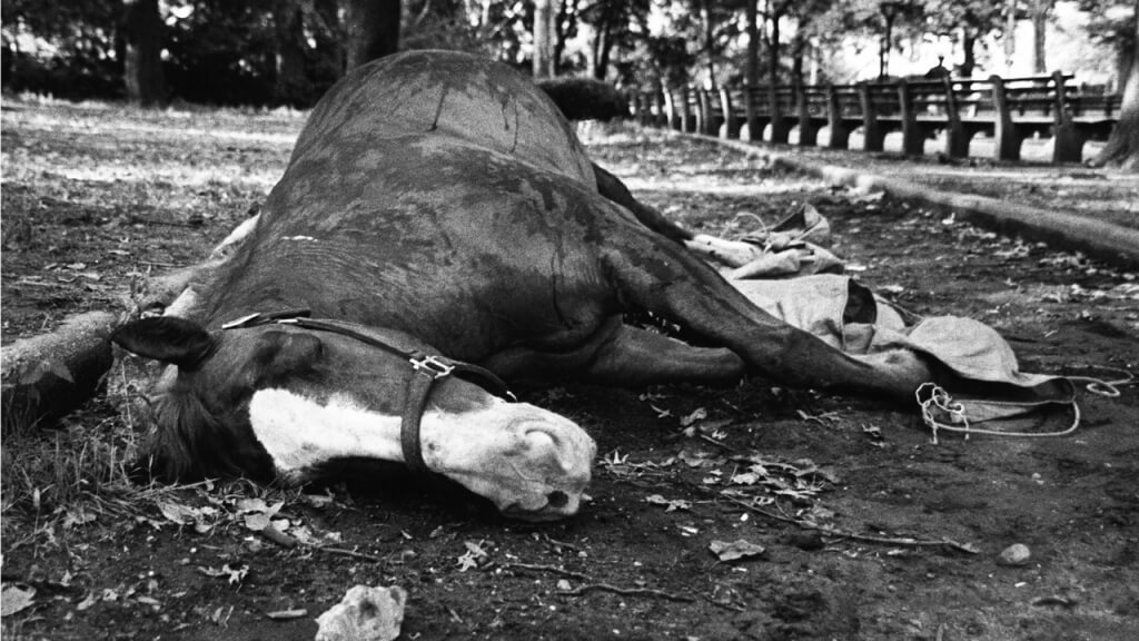 Carriage Horse Dead
