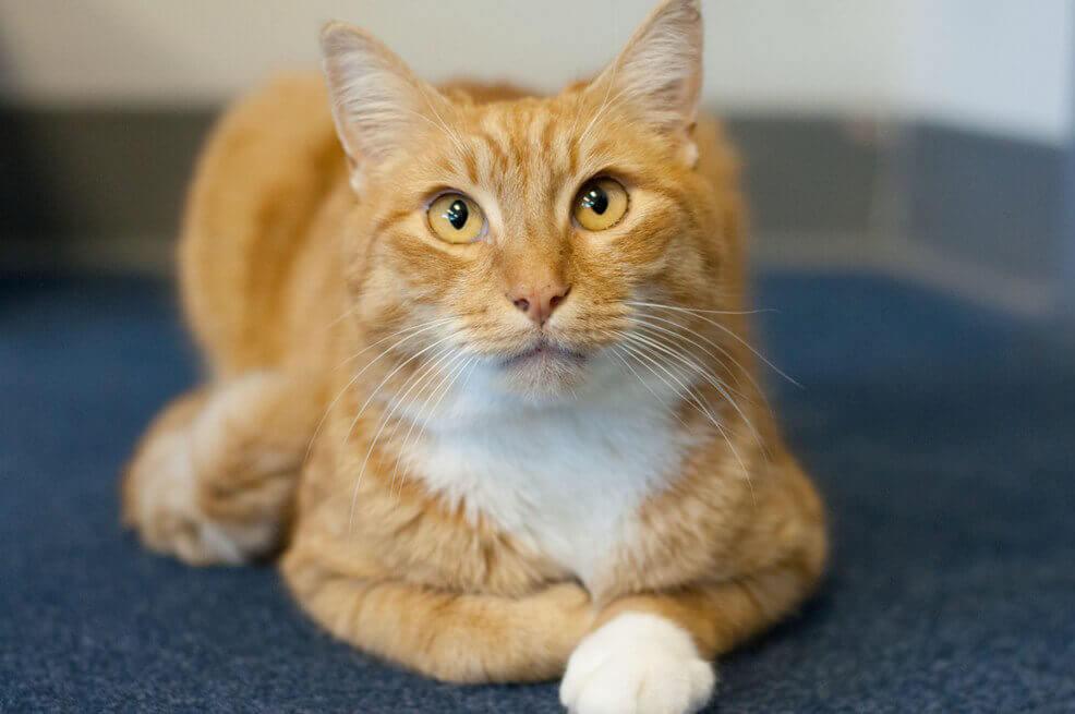 Orange Cat for Adoption