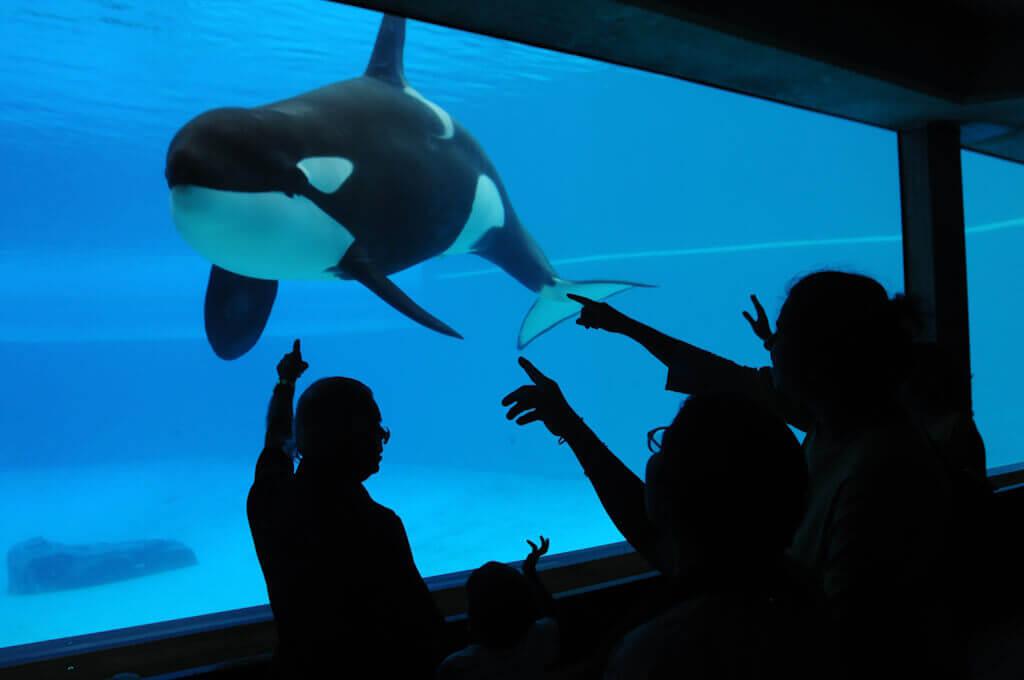 Kirca, a Captive Orca Whale