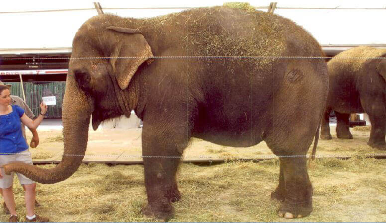Nicole, an elephant used By Ringling Bros.