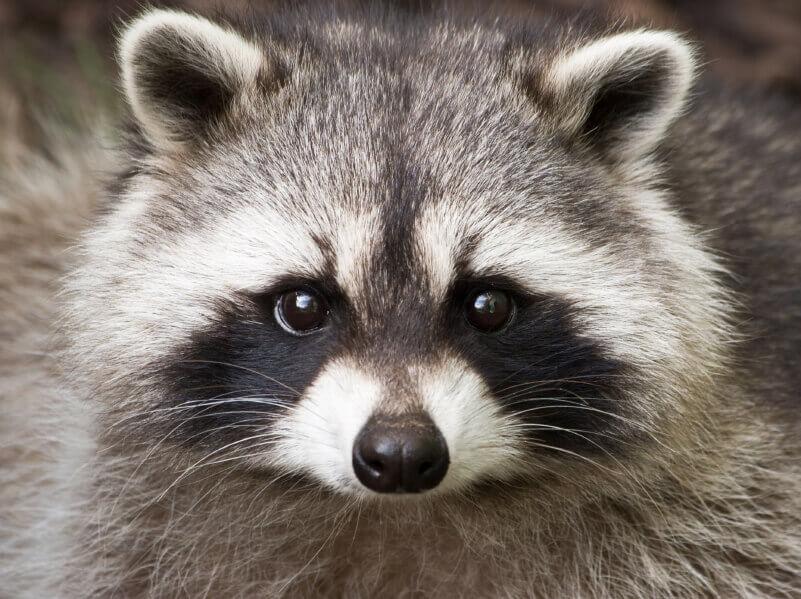 iStock_raccoon_toos