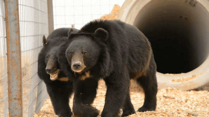 Two Bears Rescued by PETA and Sam Simon in New Home