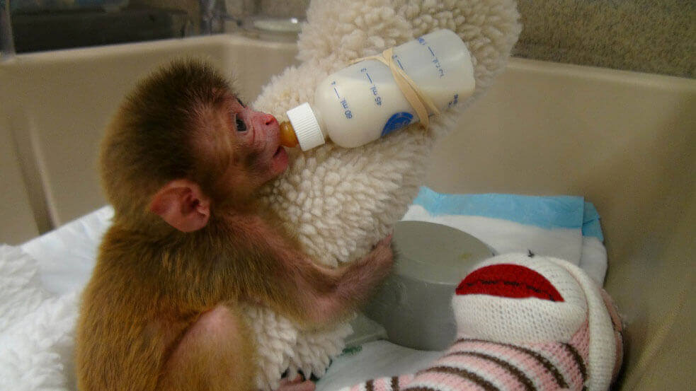 Baby monkey with cloth and bottle