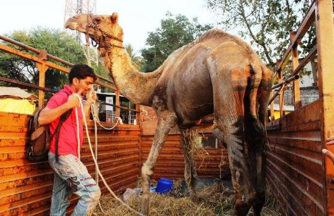 Waheed Camel Rescued by Animal Rahat