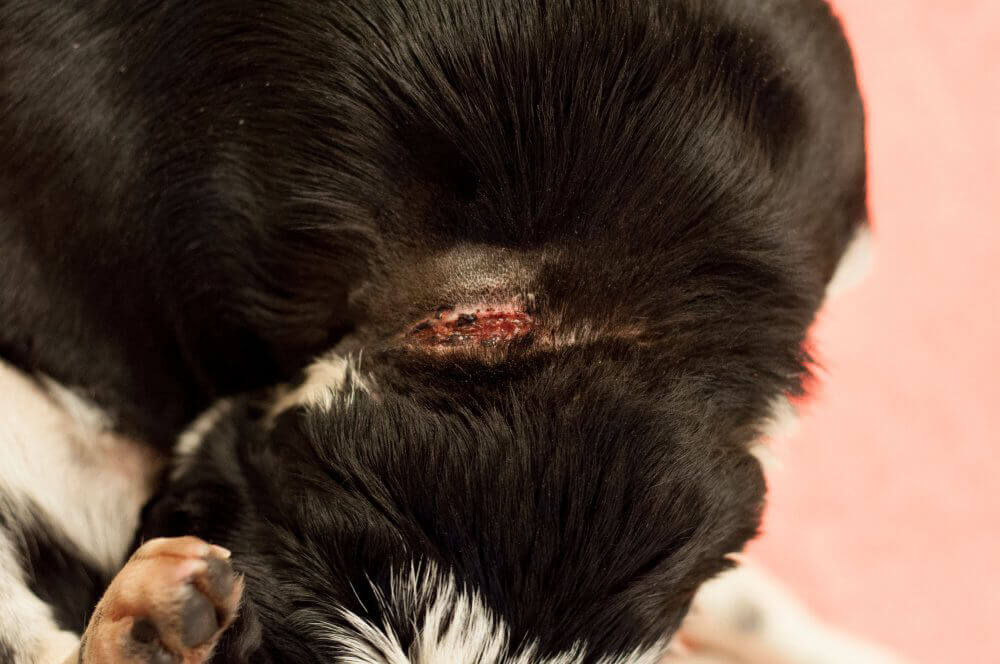 Wound to Kora's Neck From Embedded Collar