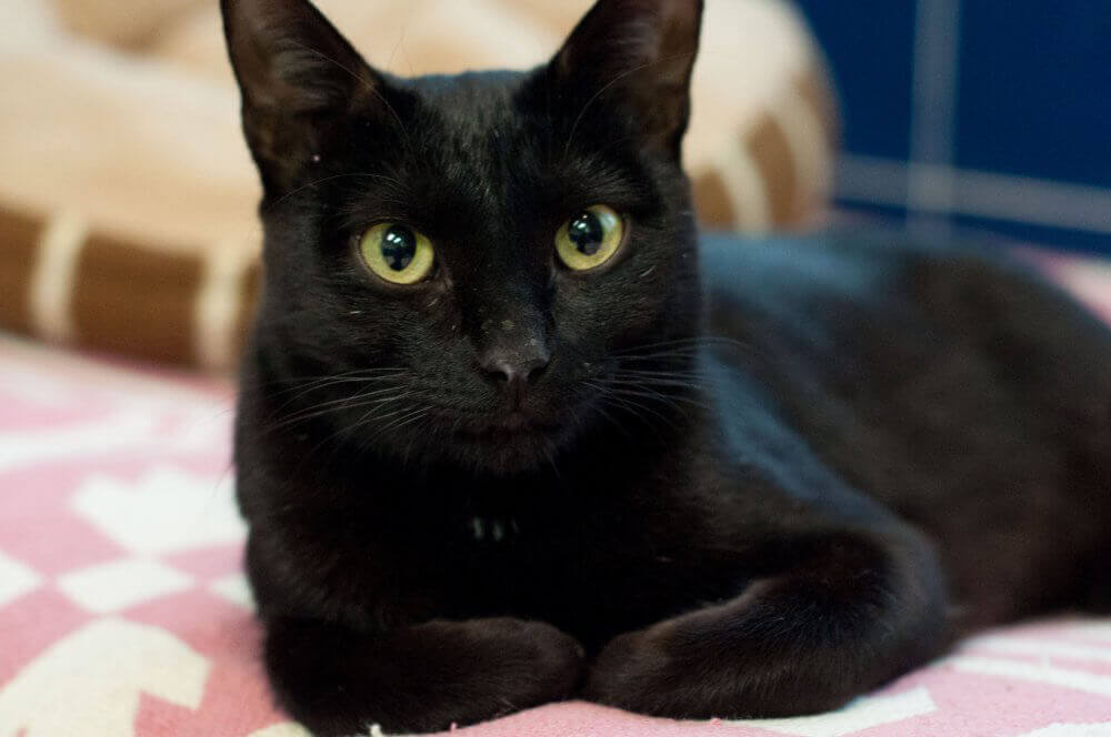 LaVerne, Cat Available for Adoption