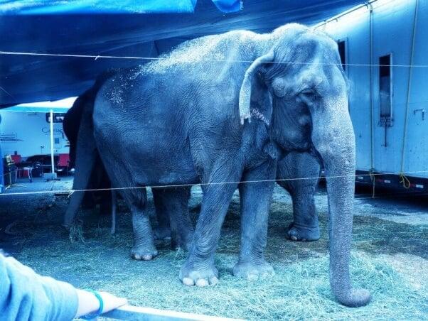 Nina, an Elephant at Carson & Barnes Circus