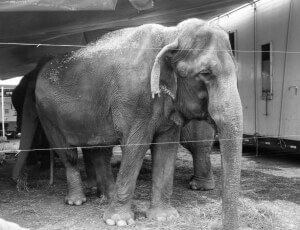 Nina, an Elephant with the Carson and Barnes Circus.