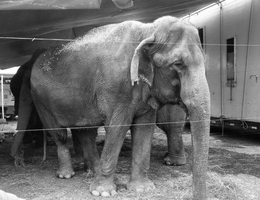 Nina, an Elephant with Carson and Barnes Circus