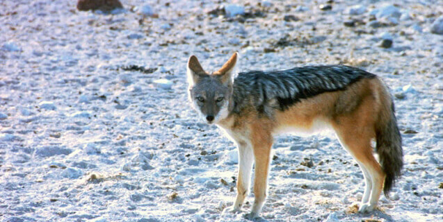 coyote-snow-freeimages